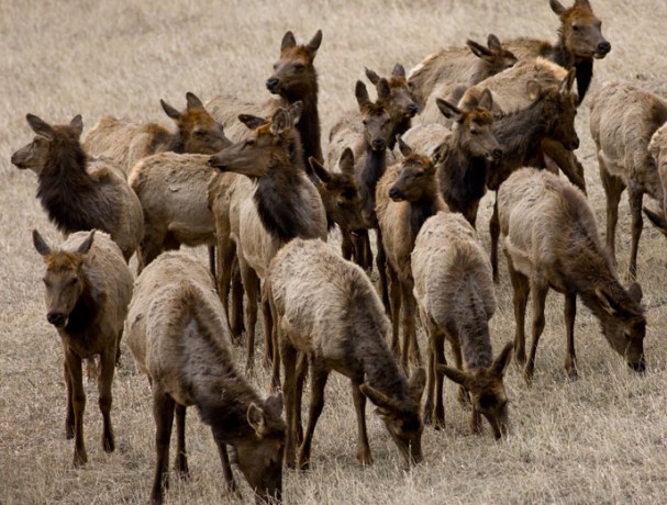 A bit mangy as they shed their winter coats, elk don't exactly ask permission to rummage through your yard.