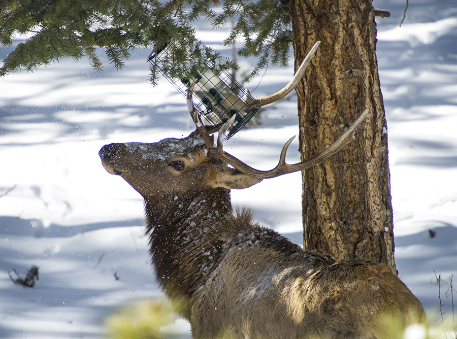 A bull elk decides to poach some bird seed from a feeder by tipping the feeder with his antlers.