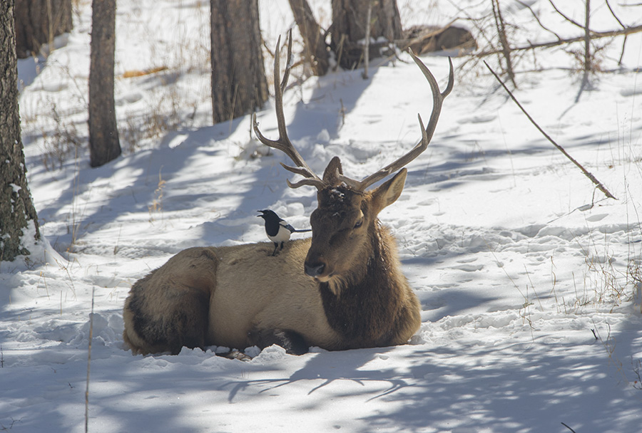 A magpie perches on the back of a bull elk resting in a pine grove in Evergreen CO. after a March storm.