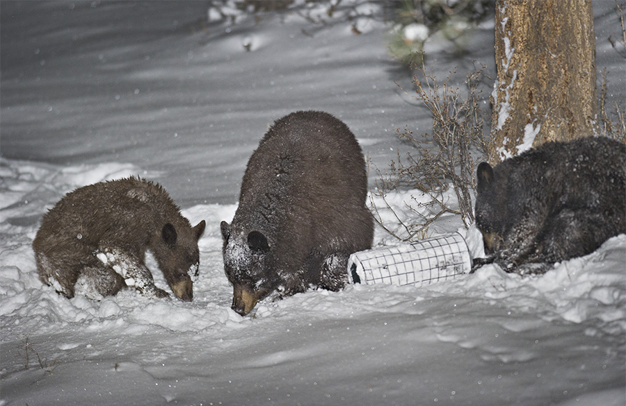 A sow black bear and her two cubs foraging at night in a spring snow storm.