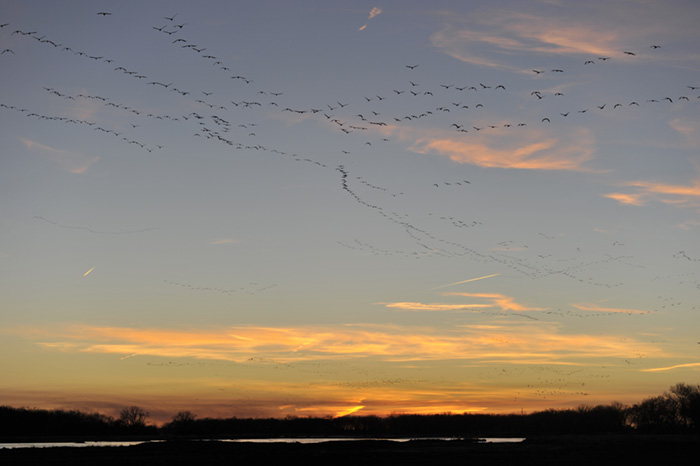 Lacing the sky at sunset like well strewn ribbons, the Sand Hill cranes move with precision westward along the North Platte River near Kearney, Nebraska during migration